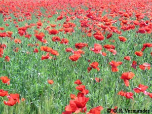 Poppies - Tuscany